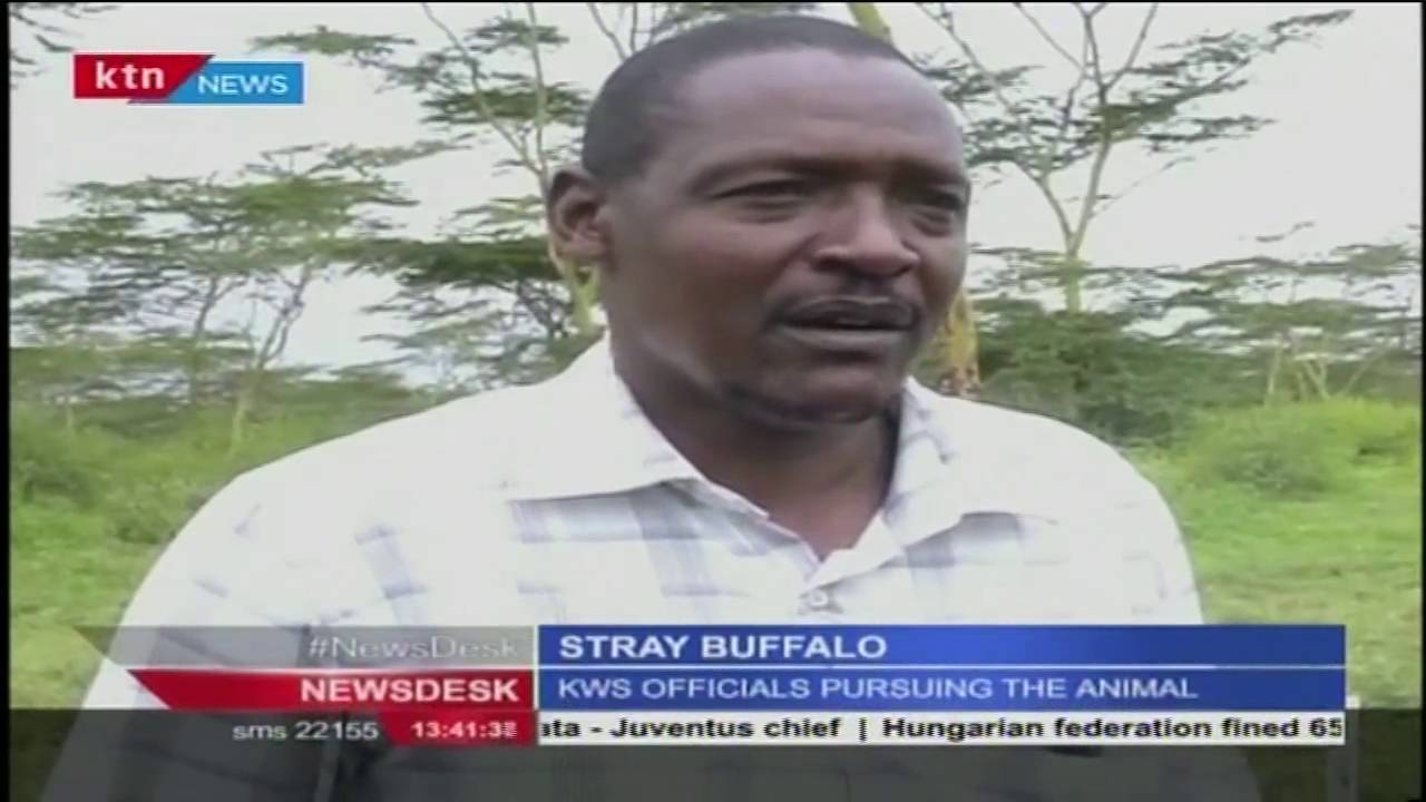 A buffalo escapes from Nairobi National Park into a farm in Kitengela