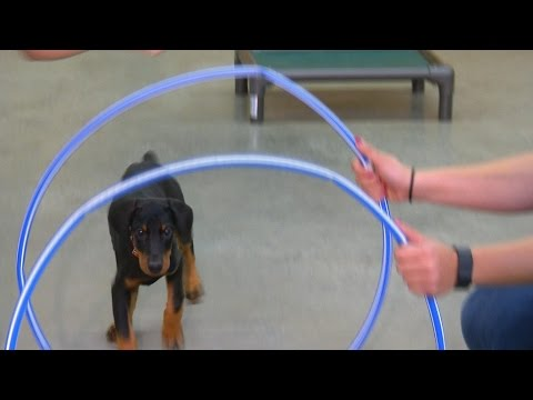 Doberman Puppy 'Evie' 9 Wk Obedience Training Personal Protection Candidate For Sale