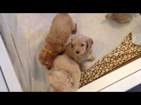 Olive's Australian Labradoodle Puppies - 6 weeks old