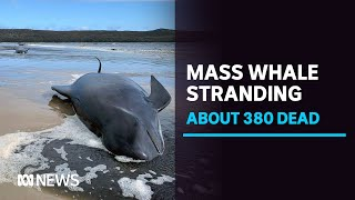 About 380 pilot whales dead after mass stranding on Tasmania's West Coast, 50 saved | ABC News