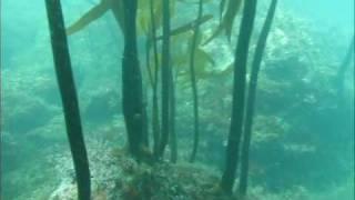 Into the Kelp: Freedive Hunting California