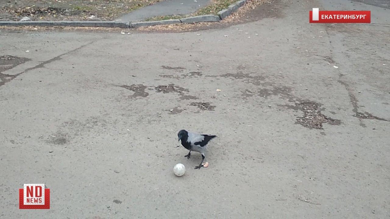 Ворона гоняет мяч во дворе