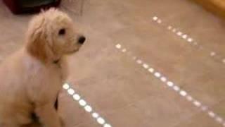Simba - Goldendoodle Training