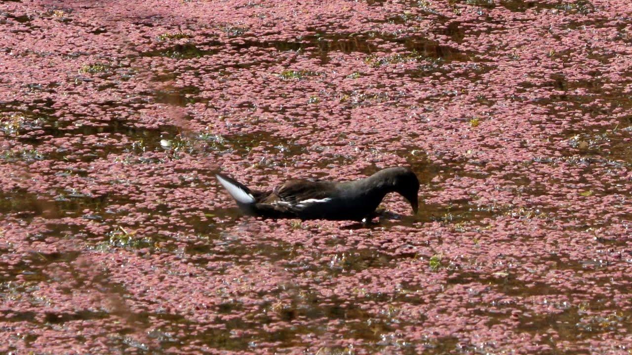 Eurasian Moorhen   Gallinula chloropus   Indian Bird Videos #25