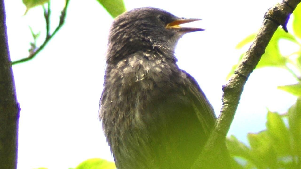 Starling baby bird call loud sounds | Fledgling / Juvenile ...
