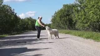Пиренейская горная собака YAKOGOR SHUASE