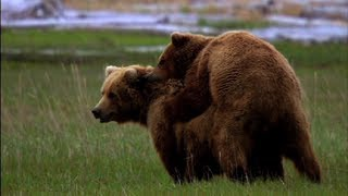 Alice's Bear Affair - Great Bear Stakeout - Episode 1 - BBC One