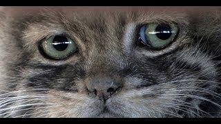 Манул Pallas's Cat