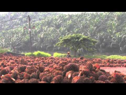 PALM OIL PART 4