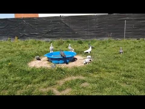 Видео: S500 SUPER PIKE BOL TOKAT TEKE GUVERCIN OYUN KUŞU TOP 10 PIGEONS পায়রা PALOMAS कबूतर الحمام 鴿子 ハト