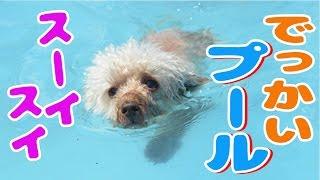 【おもしろ・かわいい犬動画】みんなでス~イスイ泳ぎましょ!さて、チ...