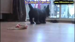 Scottish Terrier, Puppies, For, Sale, In, Baltimore, Maryland, MD, Fort Washington, South Laurel, Re