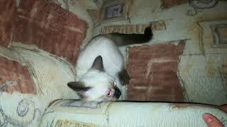 Котенок стоит на голове
