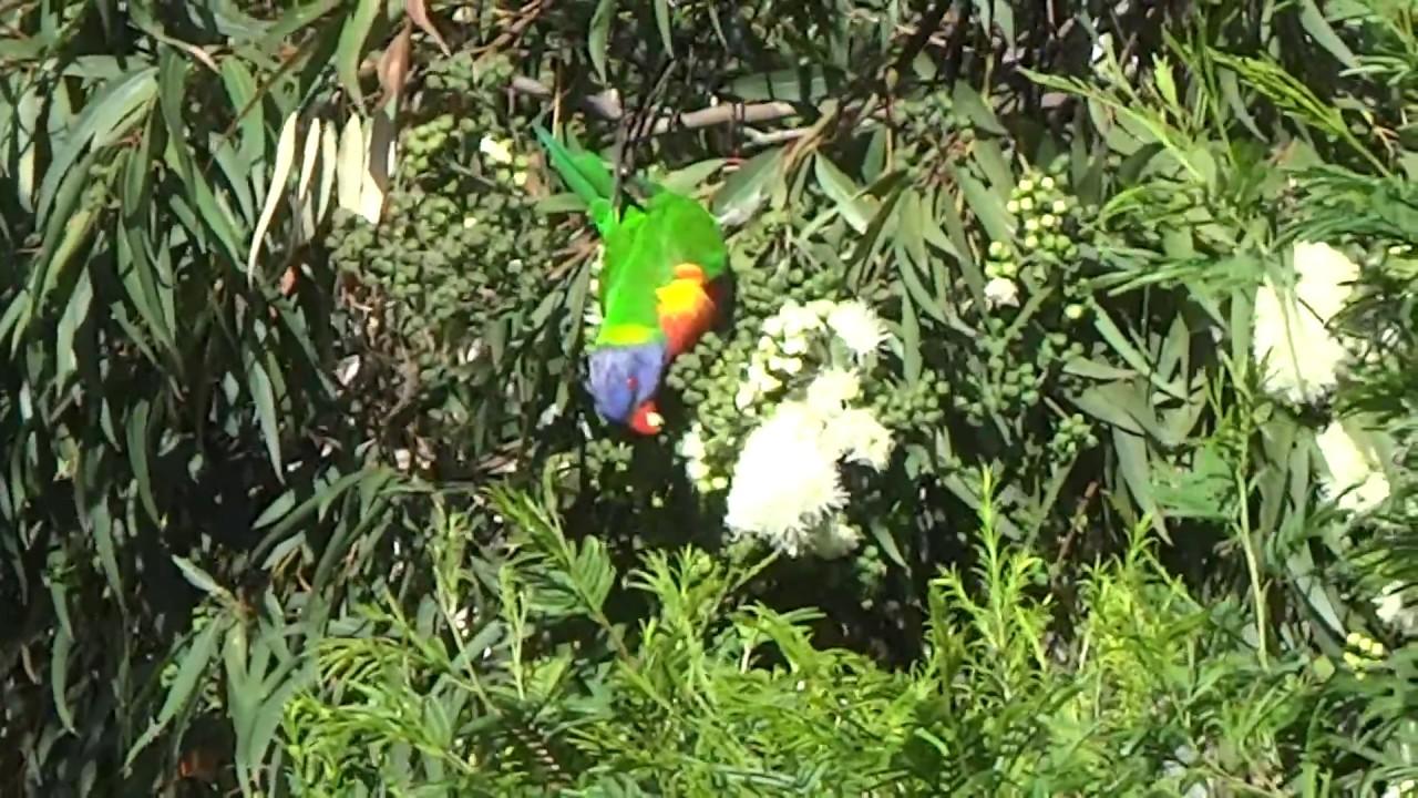 Rainbow lorikeet eating white flowering gum blooms youtube rainbow lorikeet eating white flowering gum blooms mightylinksfo