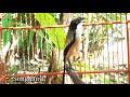 Latih Emosi Burung Cendet Anda Dengan Masteran Ini Agar Cendet Bongkar Isian Dan Gacor Stabil  Mp3 - Mp4 Download