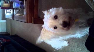 Westie Barking! West Highland Terrier