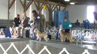 Wheaten Terrier Cianán Conformation St. Clair Day 2