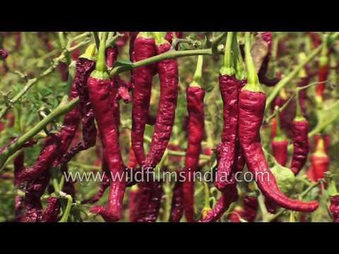 Red Chilli cultivati