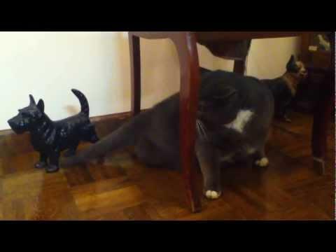 Feline Hyperesthesia Syndrome. Mean Kitty Jones attacks his tail.
