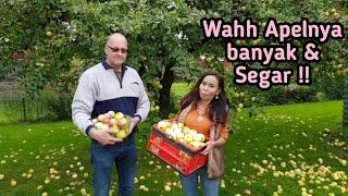 Panen Apel di Swedia, Banyak banget apelnya dan segar MP3