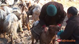 Himalayan transporation system || sheep farm ||