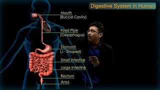 Digestive System in Human : CBSE Class 10 Science
