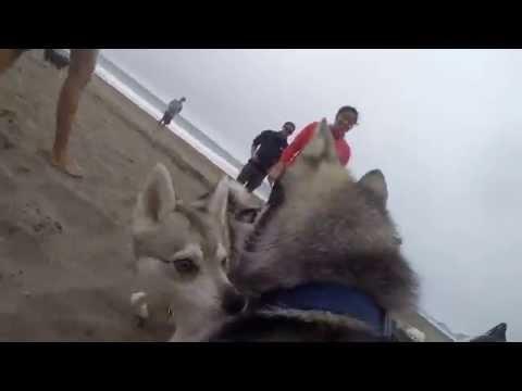 GoPro - Alaskan Klee Kai Meetup