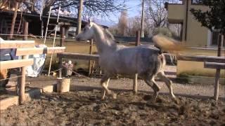 "Stallion "" Malik El Dine "" 2007  (AL WHAID EL DINE* X HS MARISI by  SIMEON SADIK *) Thumbnail"