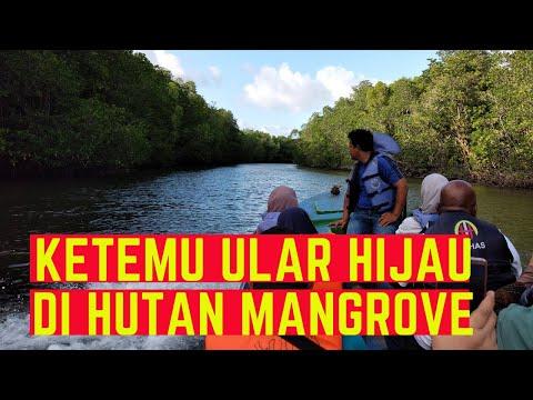 bertemu-ular-pohon-hijau-di-hutan-mangrove-bintan-yang-eksotik