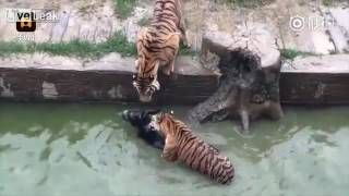 This is how the Chinese feed their tigers at the zoo