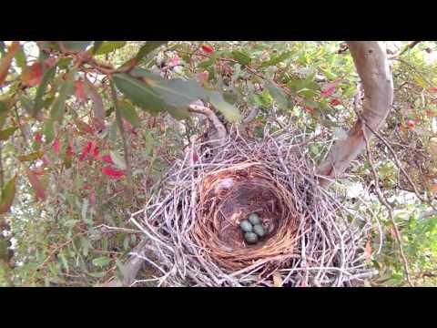 Crow's nest with 4 eggs