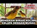 Cara Cepat Menaikan Birahi Burung Kolibri Kelapa Korlap  Mp3 - Mp4 Download