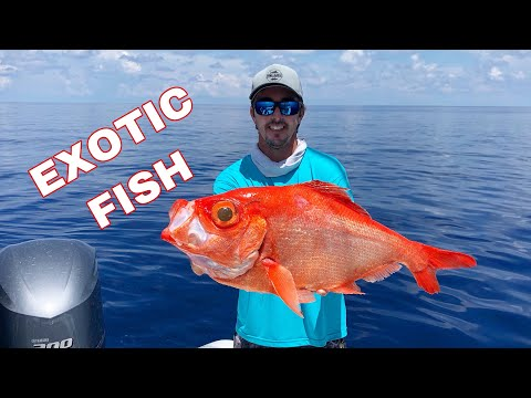 Alfonsino Catch Clean And Cook