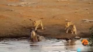 Rhino vs Lion Fight   Most Amazing Wild Animal Attacks   Animal Fights HD