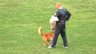 Belgian malinois dog,Theo Sporrer and Arkan,IPO FCI WC 2018
