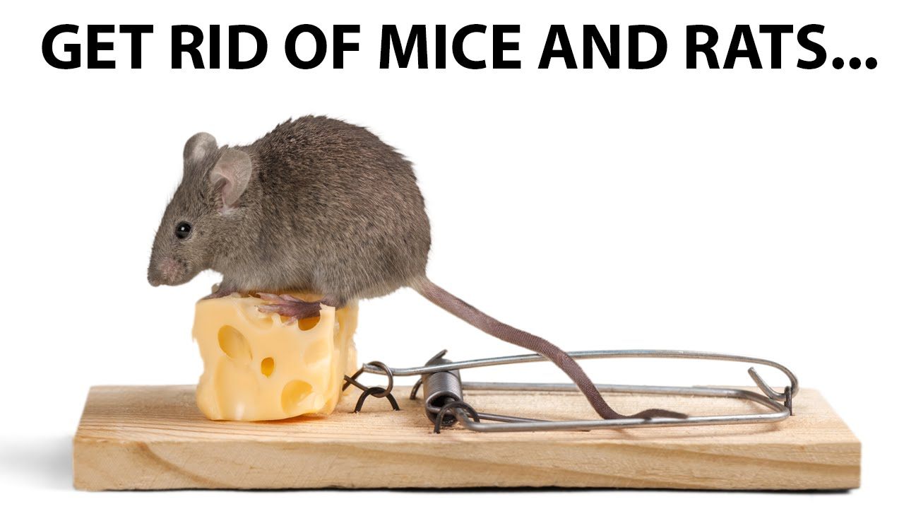 how to get rid of mice and rats youtube. Black Bedroom Furniture Sets. Home Design Ideas