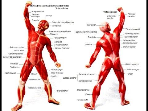 Resultado de imagem para Sistema muscular humano