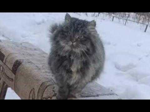 Деревенская кошка Пушинка умные животные ❤️ smart animals