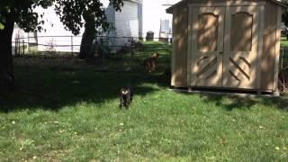 George German Shepard Mastiff Mix And Caesar Rottweiller