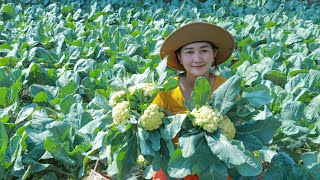 Picking  Cauliflower From The farm for Cooking Recipe - Cooking With Sros