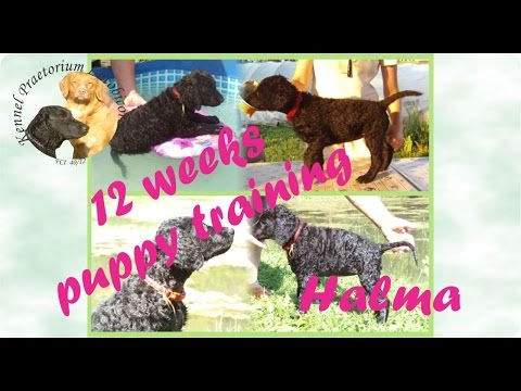 Puppy training with Curly Coated Retriever Halma