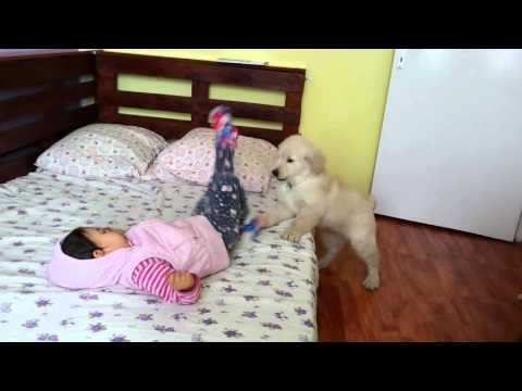 Golden retriever playing with kid