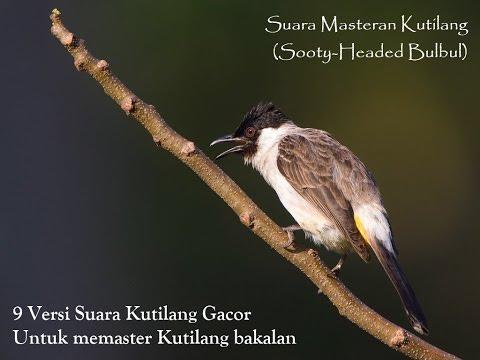 Kicau Burung Kutilang Gacor untuk Masteran dan Suara Kricikan Air