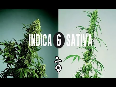 Sativa & Indica.CANNABIS