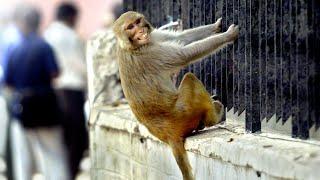 Monkeys snatch coronavirus-positive blood samples in India