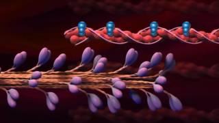 видео Виды мышечных сокращений