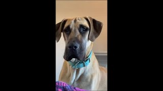 Great Dane Tilting Its Head Looking at the Camera