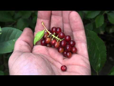 Harvesting Chokecherries