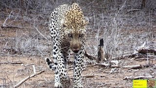 """Hyena Killer Leopard"" Attacked By Younger Leopard"