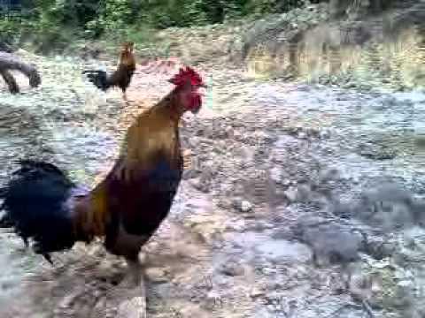 denak ayam hutan power bandi 2